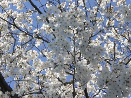 見上げる限り 桜の花