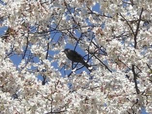 梅に鶯、桜に・・・